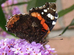 Red Admiral (billnbenj) Tags: barrow cumbria butterfly redadmiral buddleia purple