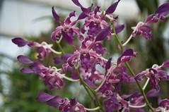 Dendrobium Blue Spin (douneika) Tags: dendrobium blue spin orchidea orchidaceae orquidea orchid orchidee taxonomy:family=orchidaceae taxonomy:binomial=dendrobiumbluespin