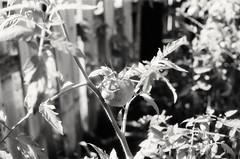Tomato (shift289) Tags: panf asa50 bw canonae1program fpp