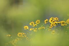 Il y a toujours du soleil dans le jardin de Mama (CécileAF) Tags: canon colour flowers garden lights yellow macro bokeh dreamy poetic