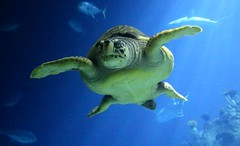 The Deep - Hull's Submarium - Giant Turtle (kitmasterbloke) Tags: hull thedeep northhumberside yorkshire submarium aquarium entertainment fish shark turtle jelly underwater immersed uk
