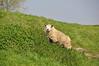 2019 Nederland 0391 Willemstad (porochelt) Tags: willemstad netherlands sheep nederland paysbas oveja niederlande noordbrabant schaap paísesbajos