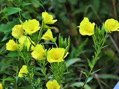 Buttercup Wildflower   IMG_5815 (PRS North Star) Tags: wildflower buttercupwildflower buttercup yellow flowers