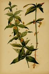 Anglų lietuvių žodynas. Žodis lysimachia quadrifolia reiškia <li>lysimachia quadrifolia</li> lietuviškai.