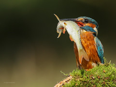 Help! (waynehavenhand1) Tags: wildlife nature alcedo athis bird fish kingfisher