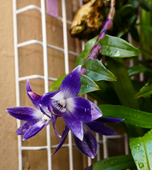 1st bloom of this mounted division, Dendrobium victoria-reginae  ('Royal Blue' am x 'Blues Brothers' hcc) 1-2 species orchid 8-19* (nolehace) Tags: dendrobium victoriareginae 12 royal blue am blues brothers hcc species orchid 819 1st flower bloom plant summer nolehace sanfrancisco fz1000 719