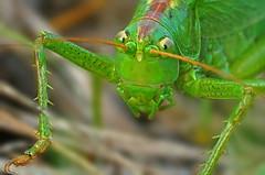 DSC06911 (Argstatter) Tags: grashüpfer tier natur grün grasshopper makro nahaufnahme