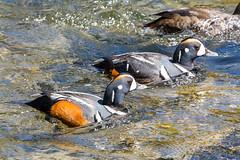 The dynamic duo (ChicagoBob46) Tags: harlequinduck harlequin duck bird yellowstonenationalpark yellowstone nature wildlife ngc coth5 npc