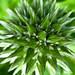Globe Thistle Bud -  Bouton floral Boule Azurée