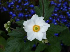 Thank You! (Marit Buelens) Tags: uk britain wales cymru bb staylittlefarm flower garden japaneseanemone green white blue thankyou