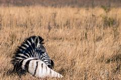 Zebra Foal (francoislinde) Tags: grass stripes cute nature rietvleidam2019 young foal pretoriaeast gauteng animal zebra wildlife pretoria yellow mohawk southafrica blackandwhite mammal 2019 baby july
