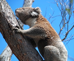 Downtime Down Under - You Can't Accuse a Koala of Being a Social Climber Just Because It's Reaching for the Next Eucalyptus Leaf! (antonychammond) Tags: koala koalabear phascolarctoscinereus arborealherbivorousmarsupial raymondisland easternvictoria australia animal martsupial contactgroups nature'splus