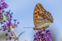 Papillon (clamar18) Tags: buddleia fleurs jardin marron orange papillon tabacdespagne mérysurcher insecte france butterffly