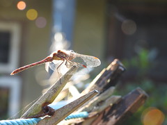 TOUCHED BY LIGHT (Zen Beyond the LenZ) Tags: zenbeyondthelenz ap poppy poppycocqué dragonfly insect wings light sunlight bokeh outdoors outside garden sooc straightoutofcamera pegs clothespegs line washingline summerhouse