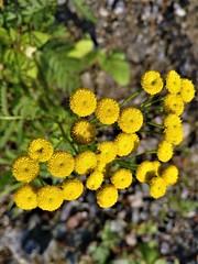 A handful of yellow (rufaro) Tags: helsinki finland flowers yellow