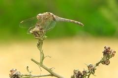 Common Darter (Sympetrum striolatum) (Nick Dobbs) Tags: sympetrum striolatum insect common darter dragonfly dorset heath heathland