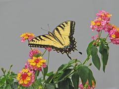 Tiger swallowtail in the lantana (Vicki's Nature) Tags: tigerswallowtail easterntigerswallowtail yellow fresh lantana colorful flowers blossoms pink vickisnature yard georgia canon s5 0341