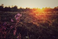 late summer sunset (Jos Mecklenfeld) Tags: nederland niederlande netherlands groningen westerwolde terborg natuur natur nature zonsondergang sonnenuntergang sunset heide heather