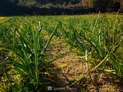 Calçots en potencia (SantiMB.Photos) Tags: 2blog 2tumblr 2ig motog3 phone móvil invierno winter calçots campo field onions palafolls maresme geo:lat=4167851125 geo:lon=271997706 geotagged cataluna españa