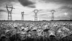 Steel Supremacy (Alain@BlueSunset) Tags: balck white noir blanc tournesols antenne antenna sunflowers flowers fleurs champ field nuages clouds paysage landscape