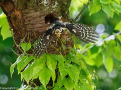 Great Spotted Woodpecker cleaning its nest hole. (xrxss15) Tags: animalia animals aves badenwürttemberg birds buntspecht dendrocoposmajor europe germany greatspottedwoodpecker nesthole nesthöhle picidae stuttgart tiere vaihingen vögel woodpeckers auffliegen flyingoff male männlich