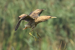 Juvenile Bittern (robin elliott photography) Tags: nikon nikond850 bird birds bittern flight nature wild