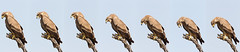 Eagle expelling pellet (Rajiv Lather) Tags: vögel vogelstand birds birding birder birdwatching aves avifauna avian wildlife nature outside eagles raptors trees pellet india indian sky photograph photo pic image series sequence