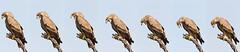 Eagle expelling pellet (Rajiv Lather) Tags: vögel vogelstand birds birding birder birdwatching aves avifauna avian wildlife nature outside eagles raptors trees pellet
