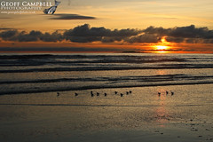 Sanderling (Calidris alba) at Sunset (gcampbellphoto) Tags: wader shorebirds nature wildlife bird avian beach shore gcampbellphoto donegal ireland outdoor animal sanderling calidris alba water sea