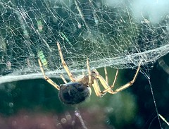 "Spider just hanging (baldychops) Tags: ""appleiphone"" apple ""iphonexsmax"" ""iphonexs"" phone iphone outdoor summer evening backlighting backlit backlight sunshine sun ""creepycrawly"" wildlife natural nature ""spidersweb"" ""spiderweb"" web spider"