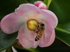 Abeille sur fleur de Clusia (Faapuroa) Tags: fleurs insecte cucia arbreàsignature signature autograph rose tahiti coolpix nikon p1000 flower bee insect pink
