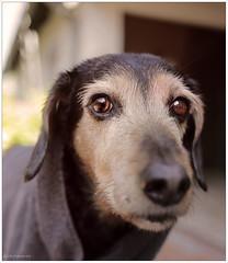 Meh!!!! (lichtspuren) Tags: lemmy lemmel bracke hellenichound hellinikosichnilatis blackandtan braque dog hund friend lichtspuren littledoglaughedstories