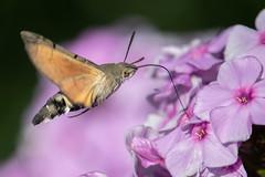 Humming-bird hawk-moth (Gareth Keevil) Tags: detail garden garethkeevil hummingbirdhawkmoth hungry inflight insect lazysundaymorning migrant moth nikon nikon300mmpf nikond500 phlox summer sunshine telephoto uk warminster wiltshire