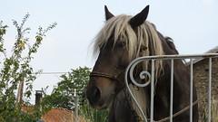 Portrait (bernard.bonifassi) Tags: 5000000vues bb088 06 alpesmaritimes thiery 2019 août été counteadenissa canonpowershotsx60hs cheval randonnée equestre