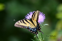 Butterfly on Thistle_2747e (Porch Dog) Tags: 2019 garywhittington nikond750 nikkor200500mm butterfly thistle pollen wildlife nature backyard summer august