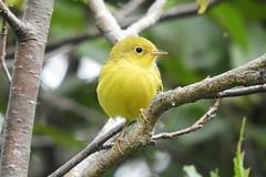 Yellow Warbler (smkeereweer) Tags: yellowwarbler eastrivertrail