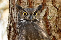Great horned owl (RebelRob) Tags: vancouverisland victoriabc britishcolumbia birds birdwatching birdsofprey bubovirginianus greathornedowl owls raptor