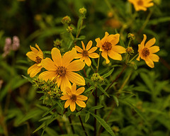 What is yellow? 3 (nwalthall) Tags: coreopsis landscape