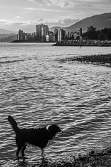 Coco (Photo Alan) Tags: dog sea water waterfront waterside waterfrontpark beach vancouver canada city cityscape cityofvancouver blackwhite blackandwhite monochrome bw