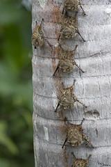 Bats (Kusi Seminario) Tags: mammal murcielago mamifero animal animales sandoval lake lago tambopata madrededios peru southamerica sudamerica rainforest selva jungle outdoors nature canon eos 7dmarkii