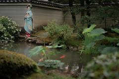 Maiko_20190630_121_13 (Maiko & Geiko) Tags: 20190630 kouunji temple kanohisa kyoto maiko 舞妓 光雲寺 叶久 京都 叶家 kanoya ksumika