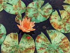 Water Lily of a different color (Pejasar) Tags: waterlily flower bloom blossom water pool gatheringplace tulsa oklahoma