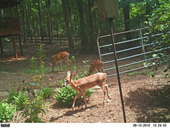 Deer at back gate - doe & twin fawns (Vicki's Nature) Tags: deer whitetaileddeer three doe mama twins fawns spots brown mammals large backgate birdhouse newflowers yard georgia vickisnature bushnell ek000011 trailcam wild trio adult young