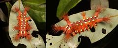 "MUGSHOT - Stinging Nettle Slug Caterpillar (Cup Moth, Setora sp., Limacodidae) ""The Clown"" (John Horstman (itchydogimages, SINOBUG)) Tags: china macro cup collage insect mosaic mugshot yunnan entomology itchydogimages sinobug red clown moth lepidoptera caterpillar slug nettle stinging theclown limacodidae setora topf25 explore topf50 tweet"