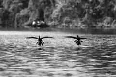 Neotropical cormorant (Kusi Seminario) Tags: cormoran bw blackandwhite blancoynegro animal animales sandoval lake lago tambopata madrededios peru southamerica sudamerica rainforest selva jungle outdoors nature canon eos 7dmarkii