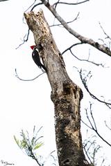 Lineated woodpecker (Kusi Seminario) Tags: carpintero animal animales sandoval lake lago tambopata madrededios peru southamerica sudamerica rainforest selva jungle outdoors nature canon eos 7dmarkii