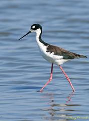 A9005460 (Roy Prasad) Tags: green sony a9 600mm f4 prasad royprasad bird shorelinepark mountainview california nature water reflection bokeh a7rm4