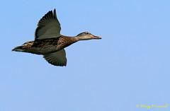 A9005419 (Roy Prasad) Tags: green sony a9 600mm f4 prasad royprasad bird shorelinepark mountainview california nature water reflection bokeh duck flight bif