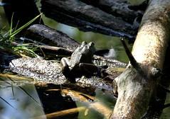 Tuesday's frog (EcoSnake) Tags: americanbullfrog lithobatescatesbeiana frogs amphibians water wildlife summer august idahofishandgame naturecenter