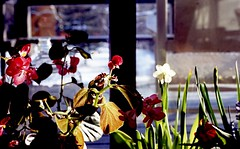 (bluebird87) Tags: film epson v600 nikon f100 dx0 flowers